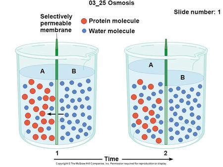 03_25 Osmosis Slide number: 1 Copyright © The McGraw-Hill Companies, Inc. Permission required for reproduction or display. Protein molecule Water molecule.