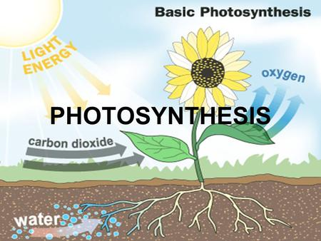 PHOTOSYNTHESIS. YOU MUST KNOW… HOW PHOTOSYSTEMS CONVERT SOLAR ENERGY TO CHEMICAL ENERGY HOW LINEAR ELECTRON FLOW IN THE LIGHT REACTIONS RESULTS IN THE.