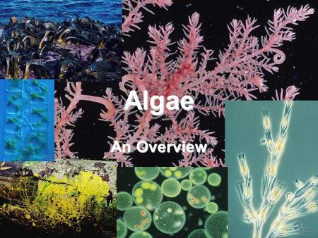 Algae An Overview. Characteristics Range in size from microscopic to single celled organisms to large seaweed Autotrophic Form the reproductive structures.