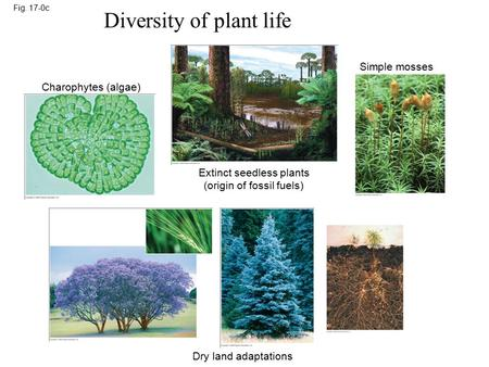 Fig. 17-0c Diversity of plant life Charophytes (algae) Extinct seedless plants (origin of fossil fuels) Simple mosses Dry land adaptations.