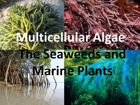 Multicellular Algae: The Seaweeds and Marine Plants