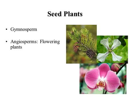 Seed Plants Gymnosperm Angiosperms: Flowering plants.