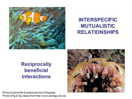 INTERSPECIFIC MUTUALISTIC RELATIONSHIPS Photo of clownfish & anemone from Wikipedia Photo of fig & fig wasps from  Reciprocally.