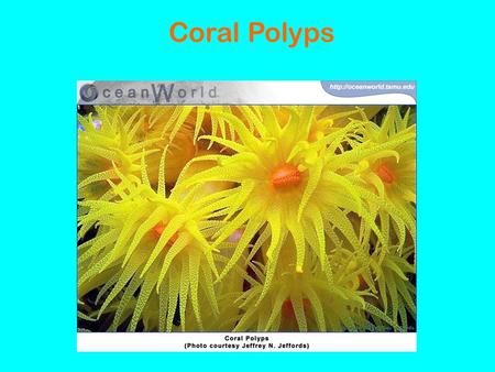 Coral Polyps. Facts About Corals: · coral polyps are very small: ¼ to 2 inches · two types of corals ~hard and soft polyps · billions of coral polyps.