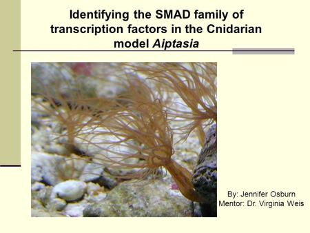 Identifying the SMAD family of transcription factors in the Cnidarian model Aiptasia By: Jennifer Osburn Mentor: Dr. Virginia Weis.
