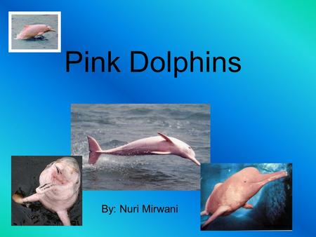 Pink Dolphins By: Nuri Mirwani. What do they eat?? Pink dolphins eat plenty per day. The types of fish they eat are crustaceans, catfish, and small fresh.
