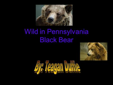 Wild in Pennsylvania Black Bear. Introduction Have you ever wanted to learn about the magnificent life of a Black Bear? Have you ever climbed a tree?