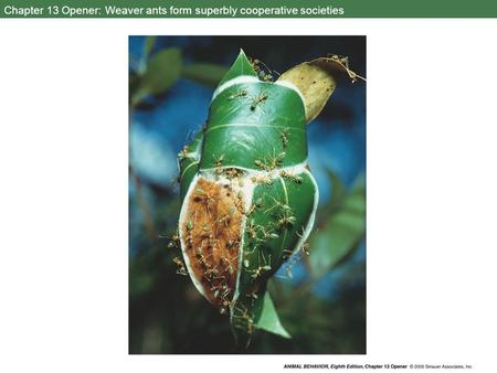 Chapter 13 Opener: Weaver ants form superbly cooperative societies