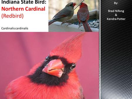 By: Brad Nifong & Kendra Potter. Adopted as the state bird by the 1933 General Assembly (Indiana code 1-2-8) The cardinal is also the state bird for: