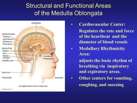 gross structure of the brain - ppt download, Human body