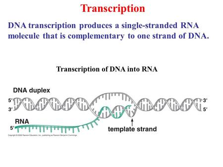 Transcription Transcription of DNA into RNA DNA transcription produces a single-stranded RNA molecule that is complementary to one strand of DNA.