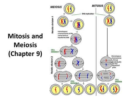 Mitosis and Meiosis (Chapter 9) DNA replicates in order to go through mitosis OR meiosis (this has nothing to do with transcription and translation that.