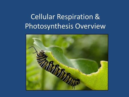 Cellular Respiration & Photosynthesis Overview. 1. Define cellular respiration. A process that releases energy from food, such as the simple sugar glucose,