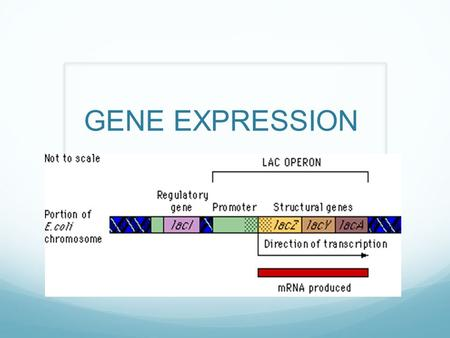 GENE EXPRESSION. CONSTITUTIVE GENE PRODUCTS ARE NEEDED BY THE BODY AT ALL TIMES TUMOR SUPRESSOR PROTEINS ENZYMES THAT CONTROL CELLULAR RESPIRATION.