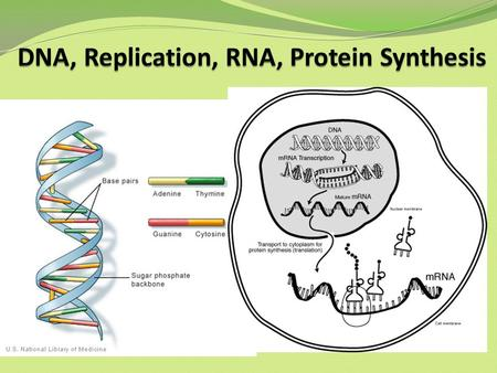 DNA, Replication, RNA, Protein Synthesis