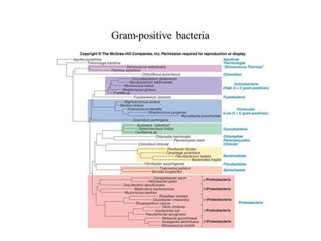 Gram-positive bacteria. Separated on basis of G + C content of chromosomal DNA Low G + C Gram-positives = Firmicutes High G + C Gram-positives = Actinobacteria.