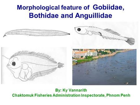 Morphological feature of Gobiidae, Bothidae and Anguillidae By: Ky Vannarith Chaktomuk Fisheries Administration Inspectorate, Phnom Penh.