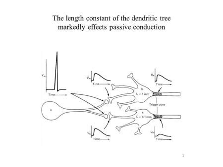 1 The length constant of the dendritic tree markedly effects passive conduction.