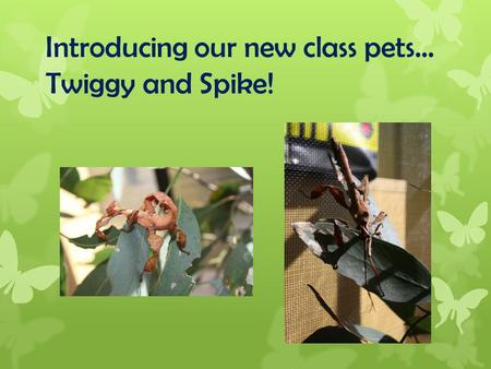 Introducing our new class pets… Twiggy and Spike!.
