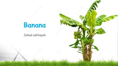 Banana Jehad eshtayeh 1. Scientific classification Kingdom:Plantae (unranked):Angiosperms (unranked):Monocots (unranked):Commelinids Order:Zingiberales.