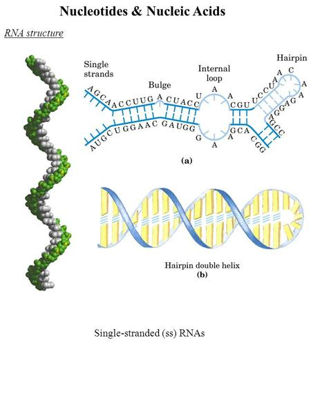 Nucleotides & Nucleic Acids RNA structure Single-stranded (ss) RNAs.