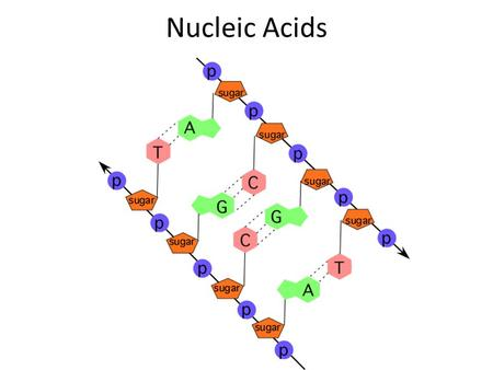 Nucleic Acids Nucleic Acid Basics Contain instructions to build proteins 2 types: – DNA – RNA Composed of smaller units called nucleotides – Monomer: