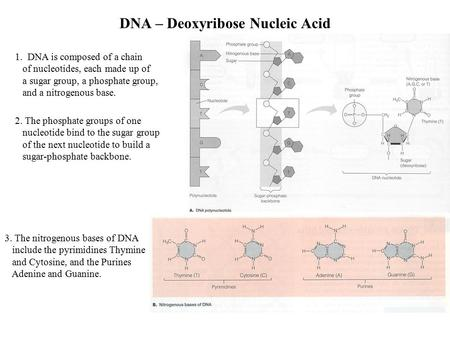 DNA – Deoxyribose Nucleic Acid 1. DNA is composed of a chain of nucleotides, each made up of a sugar group, a phosphate group, and a nitrogenous base.