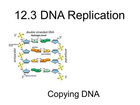 Copying DNA 12.3 DNA Replication. Which color is the sugar? Which color is phosphate? If yellow is cytosine, what color is guanine? If green is adenine,