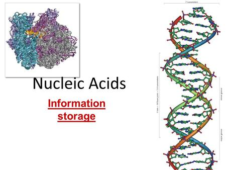 Nucleic Acids Information storage proteins DNA Nucleic Acids Function: – genetic material stores information – genes – blueprint for building proteins.