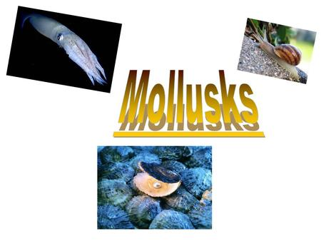 Molluscs or mollusks are an important phylum of invertebrate animals. There are about 93.000 recognised species. Most of them are marine,but they can.