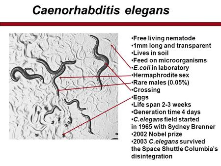 Caenorhabditis elegans Free living nematode 1mm long and transparent Lives in soil Feed on microorganisms E.coli in laboratory Hermaphrodite sex Rare males.