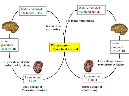 Water content of the blood normal Water content of the blood HIGH Water content of the blood LOW Too much water drunk Too much salt or sweating Brain produces.