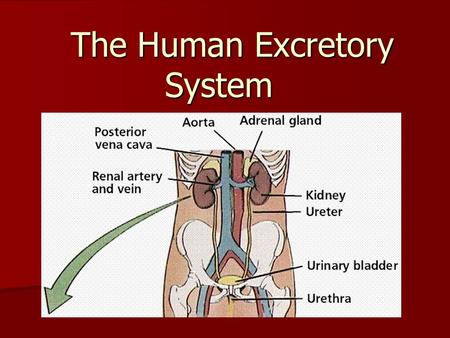 The Human Excretory System MAJOR POINTS. Major Points: All cells produce waste products. All cells produce waste products. Cells must maintain stable.