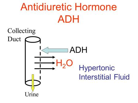 Antidiuretic Hormone ADH ADH Hypertonic Interstitial Fluid Collecting Duct H2OH2O Urine.