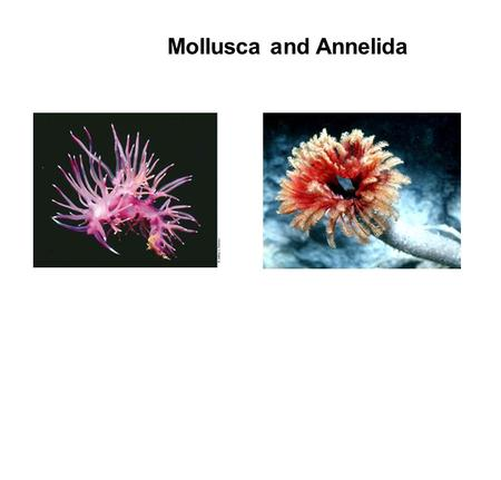 Mollusca and Annelida. Relationship of Mollusca and Annelida  Similar patterns of embryology  True coelom  Fluid filled cavity within the mesoderm.