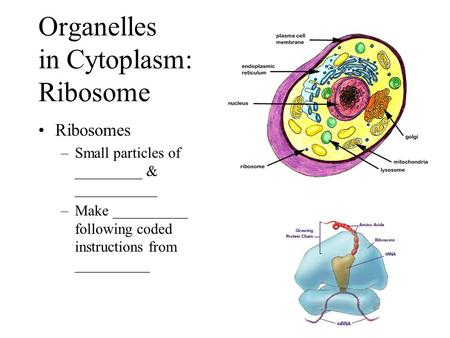 Organelles in Cytoplasm: Ribosome Ribosomes –Small particles of _________ & ___________ –Make __________ following coded instructions from __________.