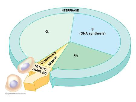 INTERPHASE S (DNA synthesis) G1 G2 MITOTIC