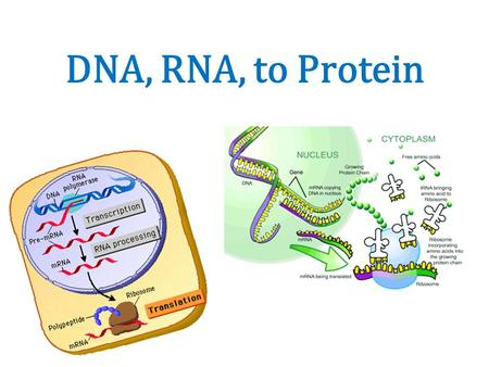DNA, RNA, to Protein.