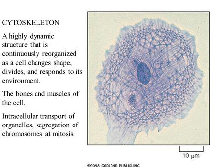 CYTOSKELETON A highly dynamic structure that is continuously reorganized as a cell changes shape, divides, and responds to its environment. The bones and.