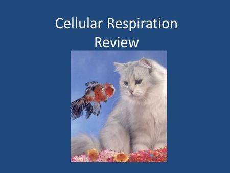 Cellular Respiration Review. Cellular Respiration 1. Define cellular respiration. A process that releases energy from food, such as the simple sugar glucose,