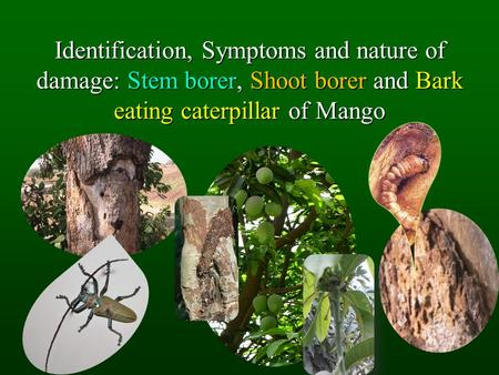 Identification, Symptoms and nature of damage: Stem borer, Shoot borer and Bark eating caterpillar of Mango.