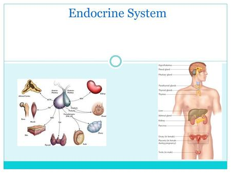 Endocrine System. Endocrine System: a system of glands and tissues that secrete hormones to regulate the body. In contrast to the exocrine system, which.