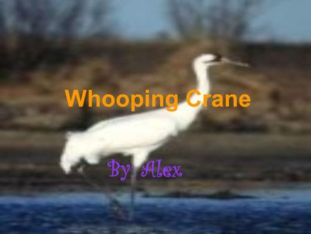 Whooping Crane By: Alex. Whopping Crane's Habitat and Range The Whooping Crane's habitat is grassy plains, marshes, numerous lakes and ponds. The range.