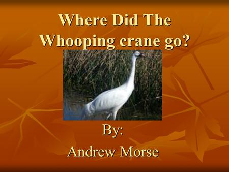 Where Did The Whooping crane go? By: Andrew Morse.