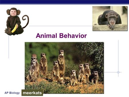 AP Biology Animal Behavior meerkats AP Biology What is behavior?  Behavior  everything an animal does & how it does it  response to stimuli in its.