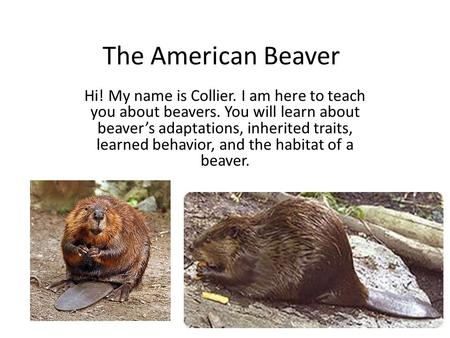 The American Beaver Hi! My name is Collier. I am here to teach you about beavers. You will learn about beaver's adaptations, inherited traits, learned.