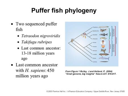 © 2005 Prentice Hall Inc. / A Pearson Education Company / Upper Saddle River, New Jersey 07458 Puffer fish phylogeny From Figure 1 Mulley, J and Holland,