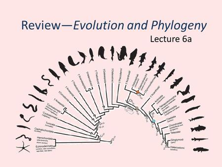 Review—Evolution and Phylogeny Lecture 6a. Phylogeny Phylogeny—the evolutionary history of groups of species – Ranges from major lineages (e.g. orders)