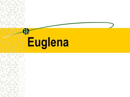 Euglena. Euglena Euglena belong to the kingdom Protista.