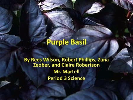 Purple Basil By Rees Wilson, Robert Phillips, Zana Zeober, and Claire Robertson Mr. Martell Period 3 Science.